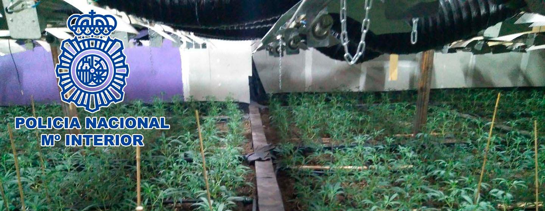 1600 plantas de marihuana en leganes